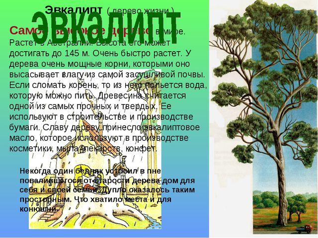 Эвкалипт ( дерево жизни ) Самое высокое дерево в мире. Растет в Австралии. Вы...
