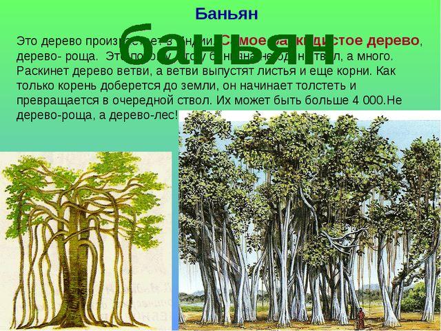 Баньян Это дерево произрастает в Индии. Самое раскидистое дерево, дерево- рощ...