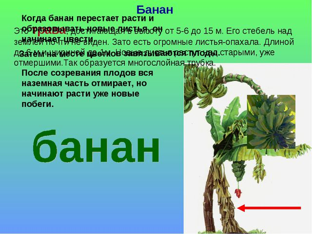 Банан Это трава, достигающая в высоту от 5-6 до 15 м. Его стебель над землей...