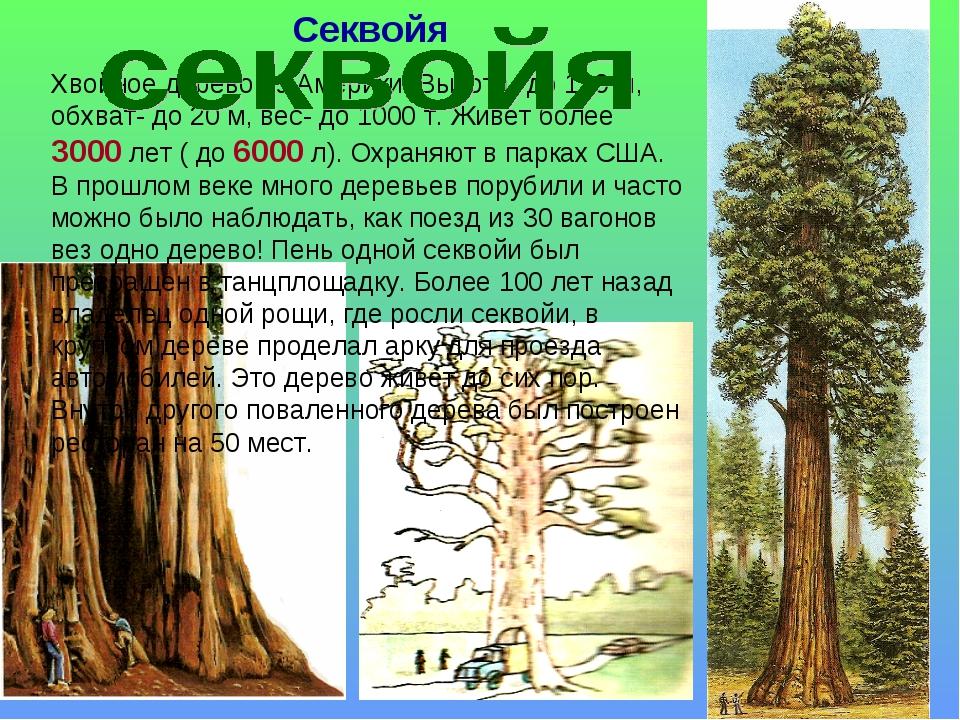 Секвойя Хвойное дерево из Америки. Высота- до 120 м, обхват- до 20 м, вес- до...