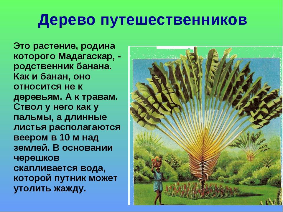 Дерево путешественников Это растение, родина которого Мадагаскар, - родственн...