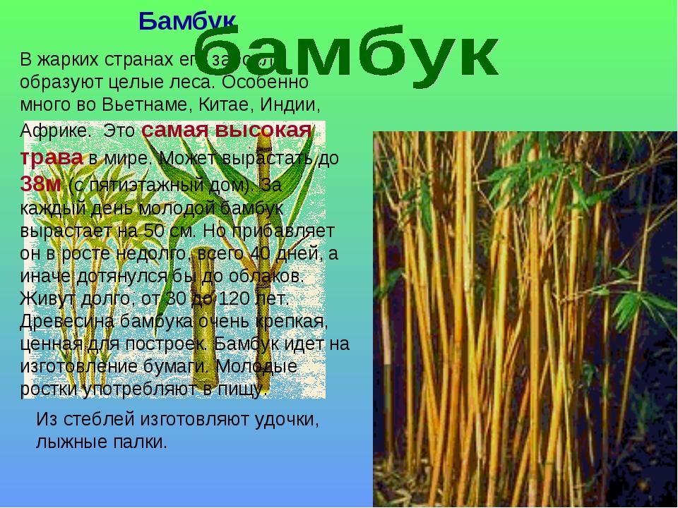 Бамбук В жарких странах его заросли образуют целые леса. Особенно много во Вь...