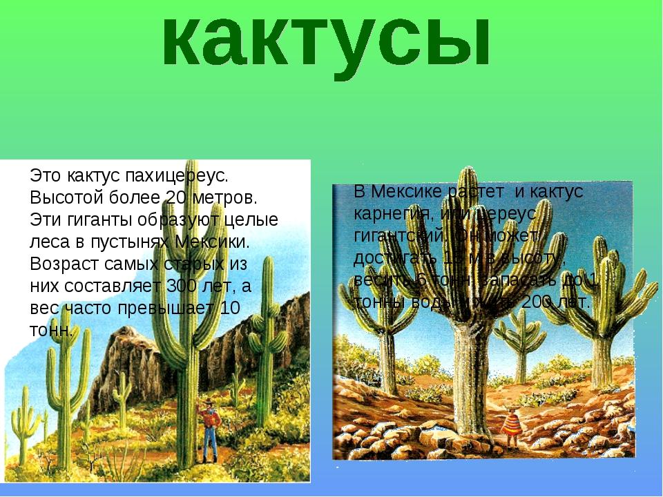 Это кактус пахицереус. Высотой более 20 метров. Эти гиганты образуют целые ле...