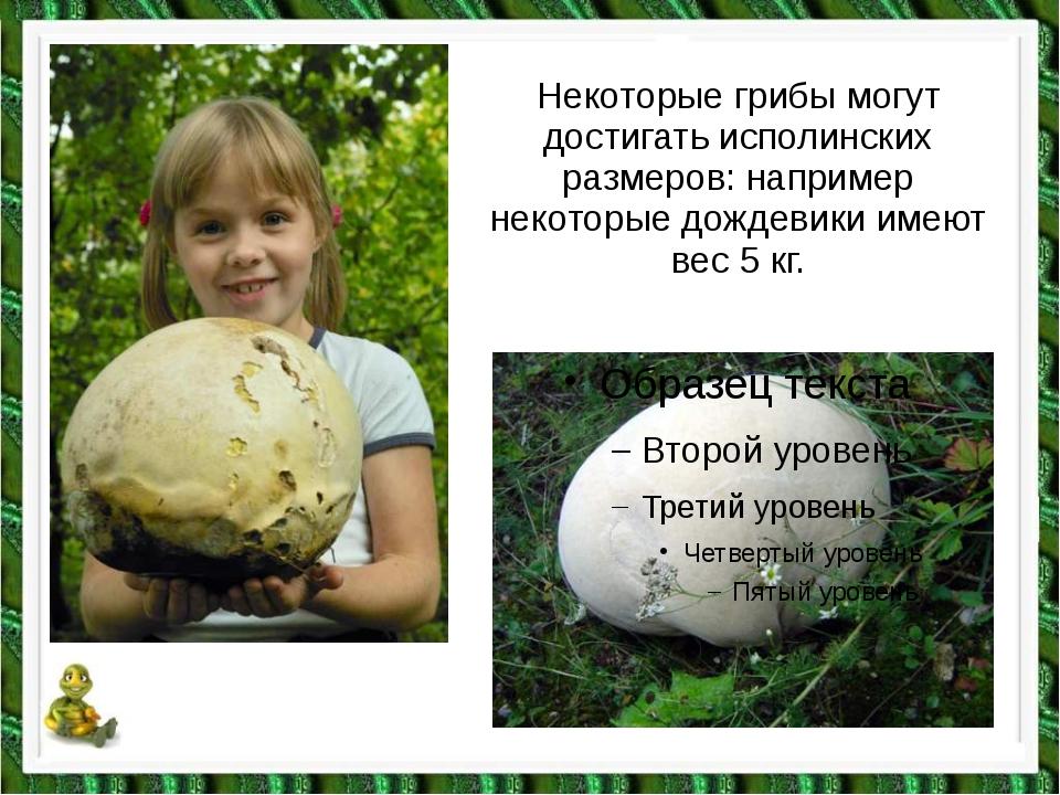 Некоторые грибы могут достигать исполинских размеров: например некоторые дожд...
