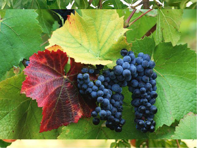 Кроме оливок, в Греции выращивают цитрусовые, виноград, персики, хлопок, саха...