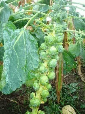 Виды капусты - брюссельская