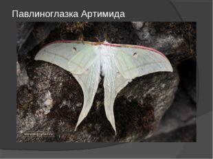 Павлиноглазка Артимида