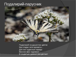 Подалирий-парусник Подалирий на душистом цветке Как сладки лета ароматы... Дл