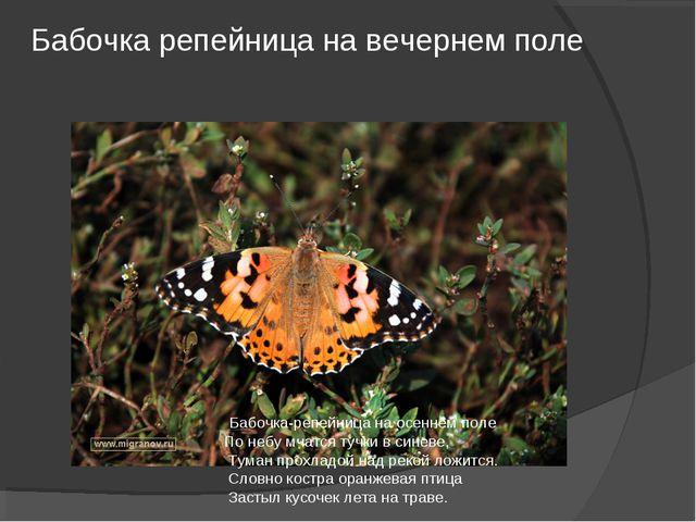 Бабочка репейница на вечернем поле Бабочка-репейница на осеннем поле По небу...