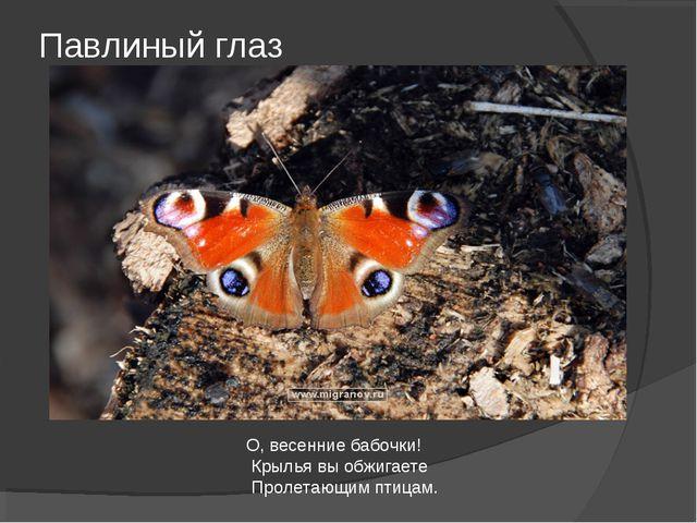 Павлиный глаз О, весенние бабочки! Крылья вы обжигаете Пролетающим птицам.