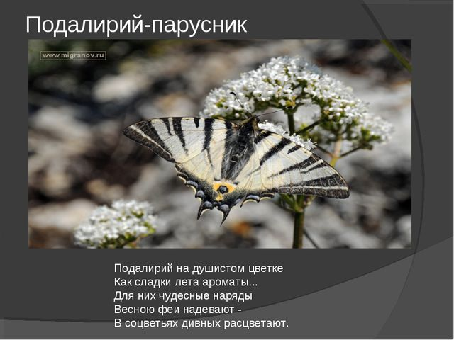 Подалирий-парусник Подалирий на душистом цветке Как сладки лета ароматы... Дл...