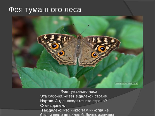 Фея туманного леса Фея туманного леса Эта бабочка живёт в далёкой стране Нэрт...