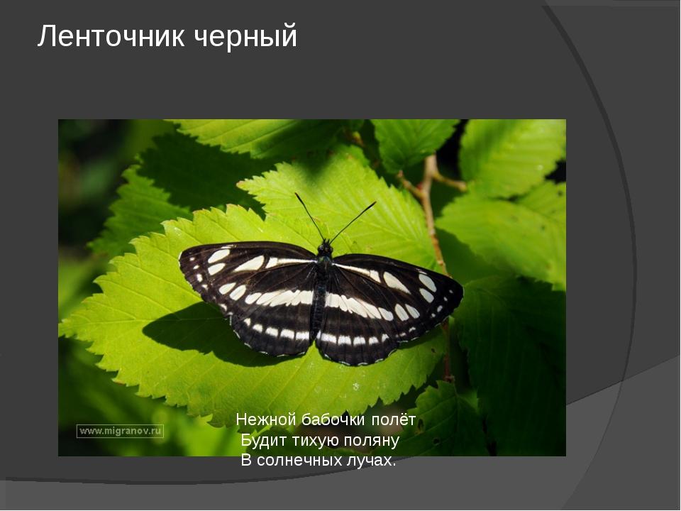 Ленточник черный Нежной бабочки полёт Будит тихую поляну В солнечных лучах.