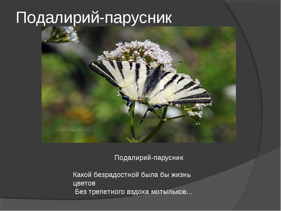 Подалирий-парусник Подалирий-парусник Какой безрадостной была бы жизнь цветов...