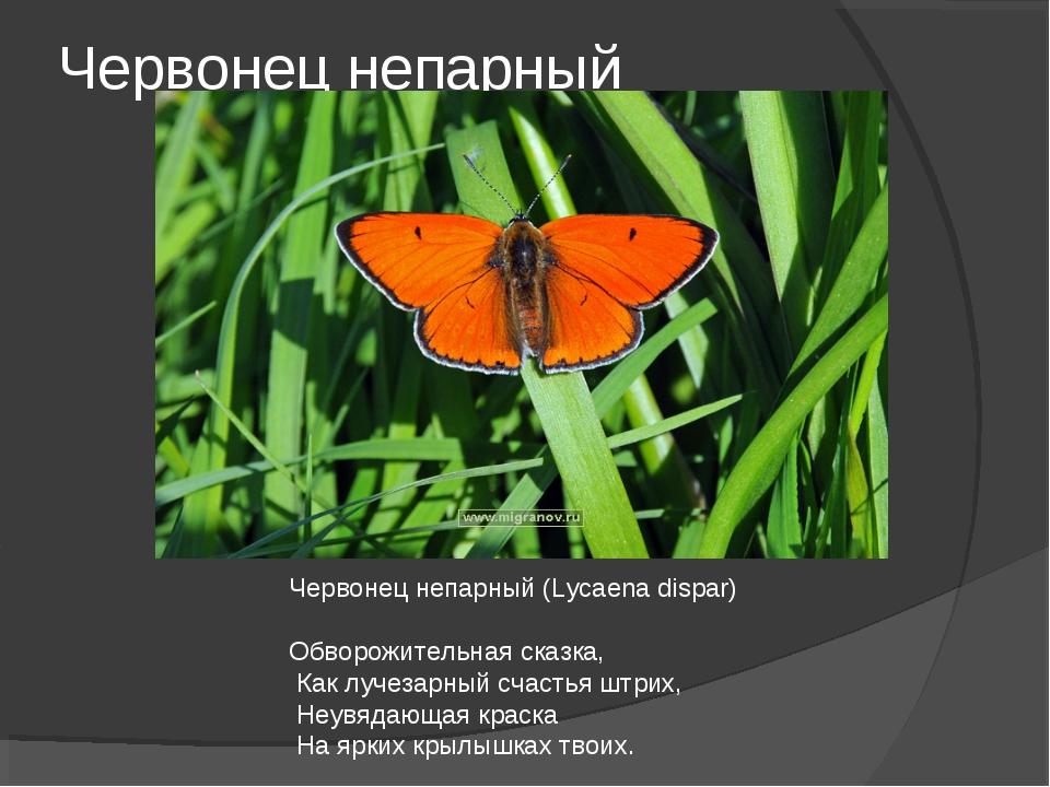 Червонец непарный Червонец непарный (Lycaena dispar) Обворожительная сказка,...