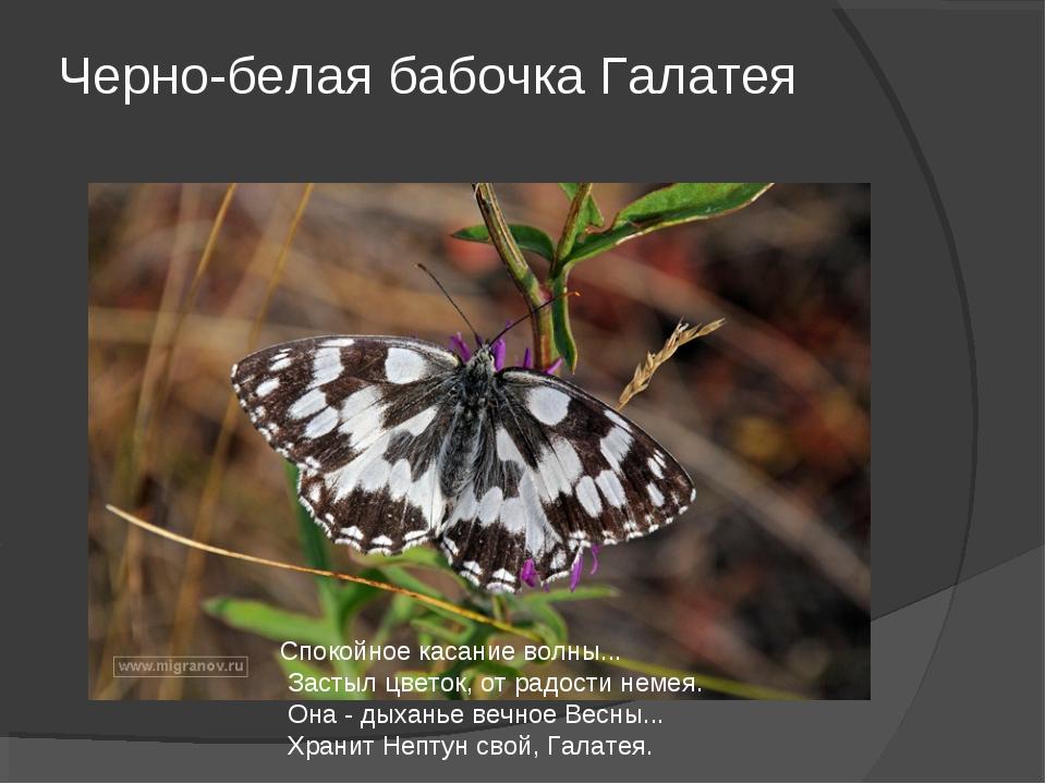 Черно-белая бабочка Галатея Спокойное касание волны... Застыл цветок, от радо...