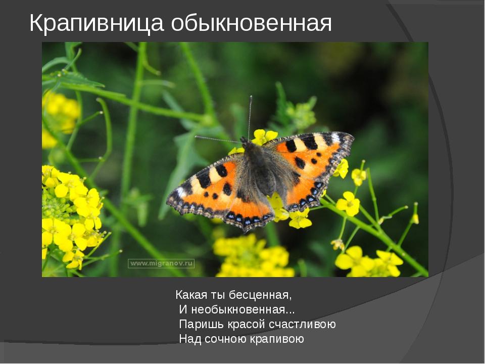 Крапивница обыкновенная Какая ты бесценная, И необыкновенная... Паришь красой...