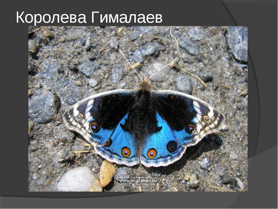 Королева Гималаев