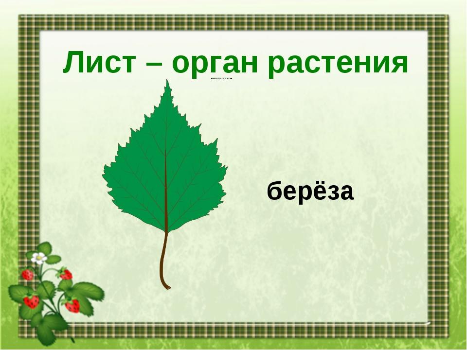 Лист – орган растения берёза