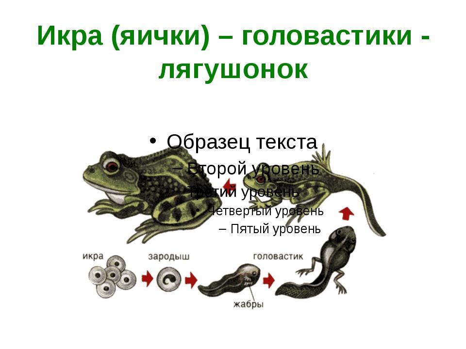 Икра (яички) – головастики - лягушонок