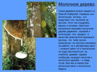 Молочное дерево. Такие деревья можно увидеть в Южной Америке. Названы они мол