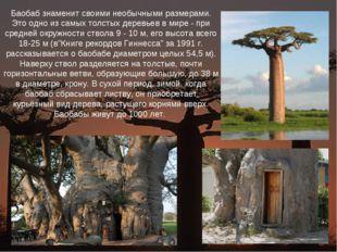 Баобаб знаменит своими необычными размерами. Это одно из самых толстых деревь