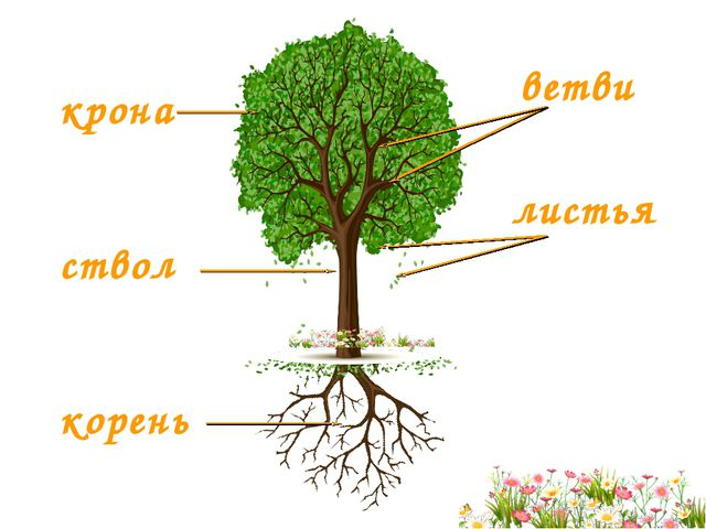крона ствол корень ветви листья