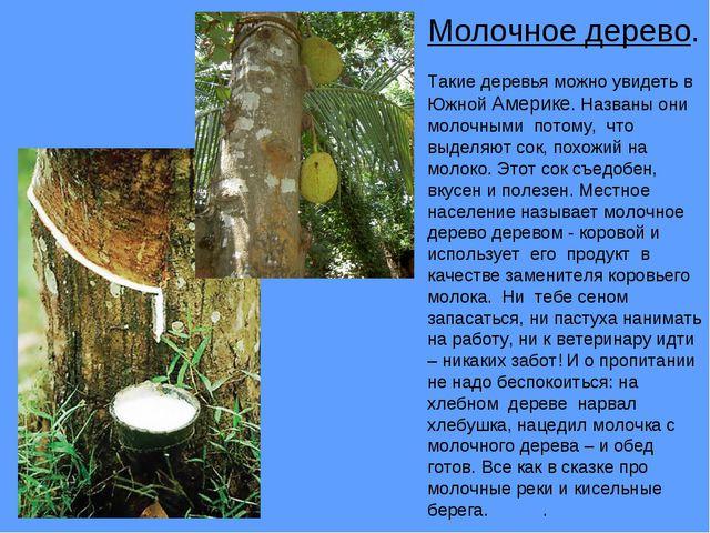 Молочное дерево. Такие деревья можно увидеть в Южной Америке. Названы они мол...