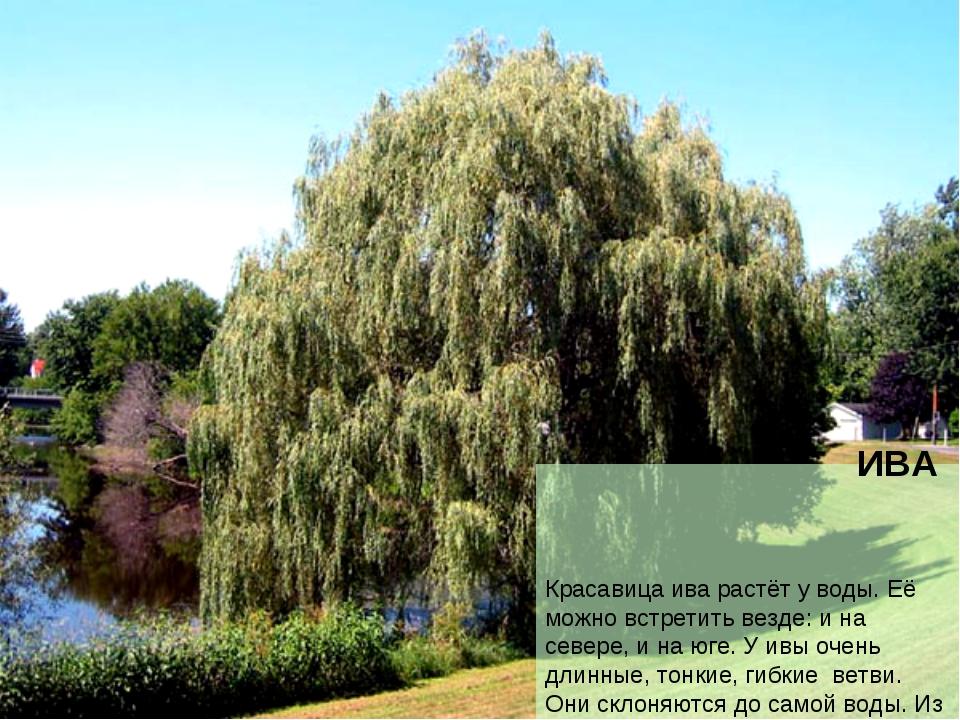 ИВА Красавица ива растёт у воды. Её можно встретить везде: и на севере, и на...