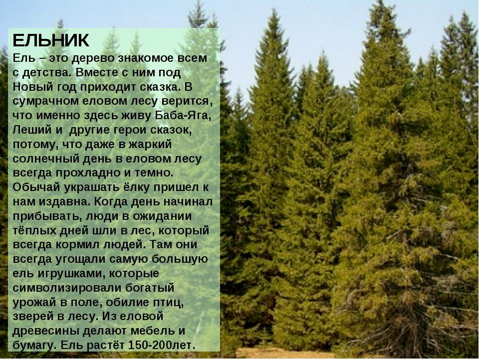 ЕЛЬНИК Ель – это дерево знакомое всем с детства. Вместе с ним под Новый год п...