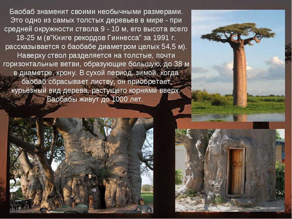 Баобаб знаменит своими необычными размерами. Это одно из самых толстых деревь...