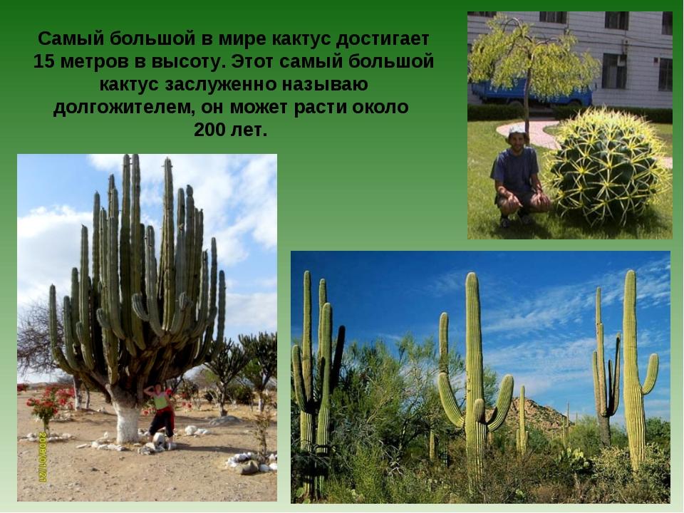 Самый большой в мире кактус достигает 15 метров в высоту. Этот самый большой...