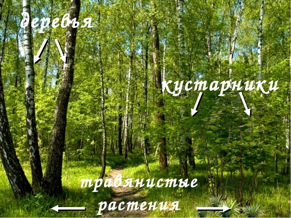 деревья травянистые растения кустарники
