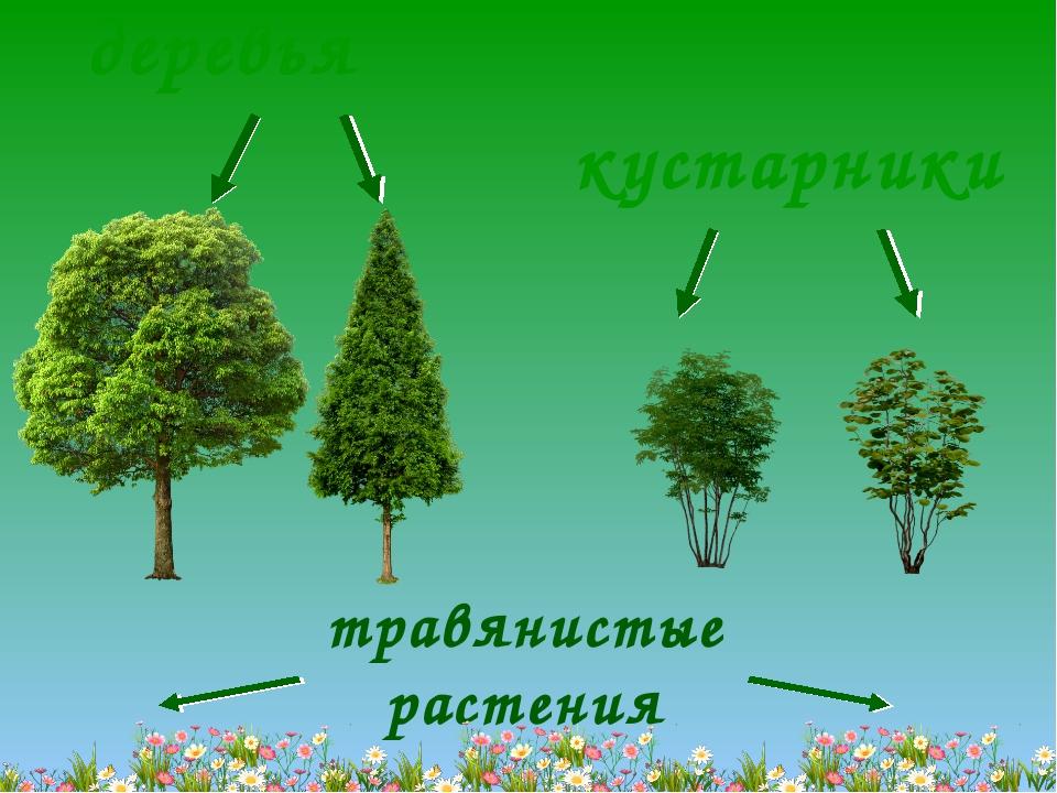 деревья кустарники травянистые растения