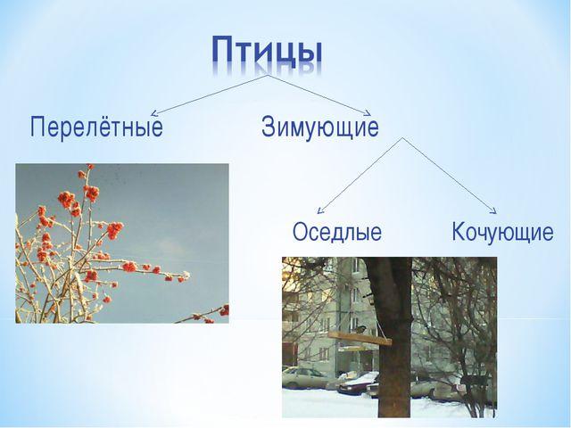 Перелётные Зимующие Оседлые Кочующие