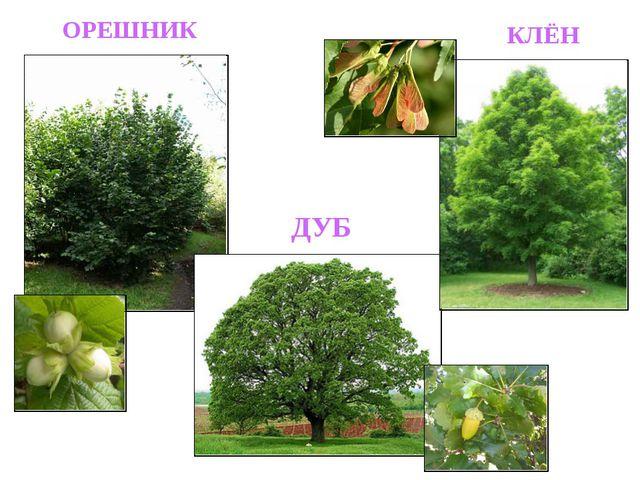 ОРЕШНИК ДУБ КЛЁН