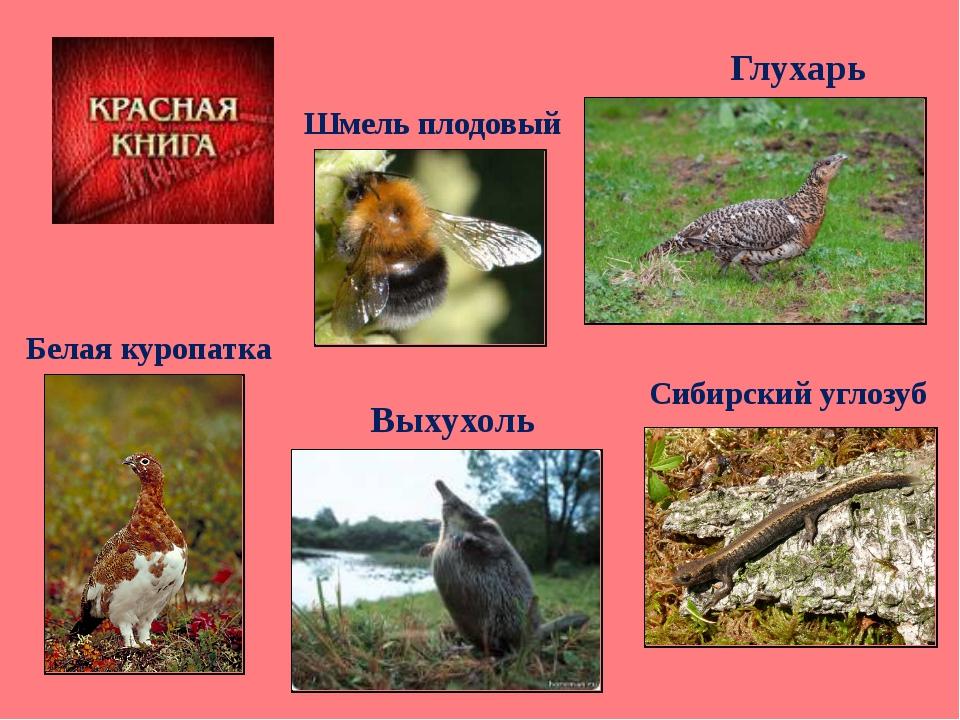 Сибирский углозуб Глухарь Шмель плодовый Выхухоль Белая куропатка