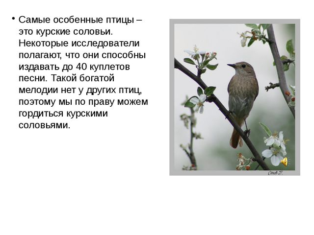 Самые особенные птицы – это курские соловьи. Некоторые исследователи полагают...