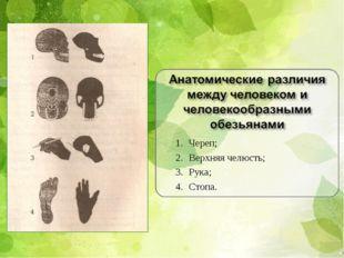 Череп; Верхняя челюсть; Рука; Стопа.