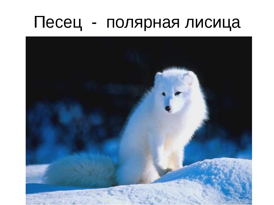 Песец - полярная лисица