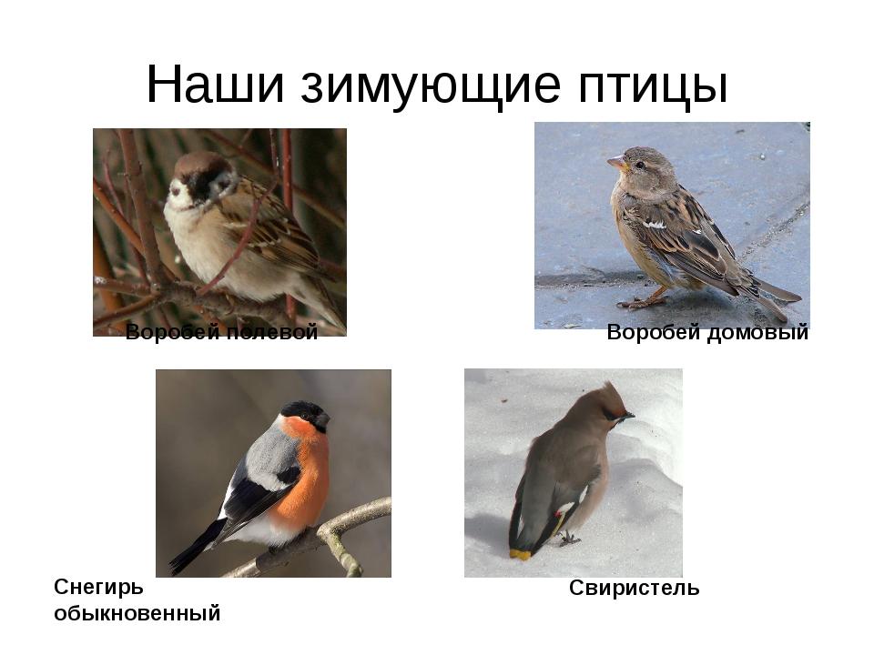 Наши зимующие птицы Свиристель Воробей полевой Воробей домовый Снегирь обыкно...