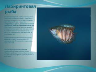 Лабиринтовая рыба Род небольших рыб из отряда окунеобразных, обитающих преиму