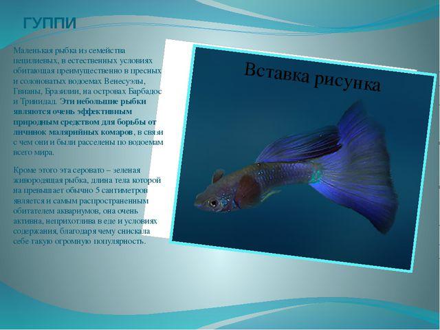 ГУППИ Маленькая рыбка из семейства пецилиевых, в естественных условиях обитаю...