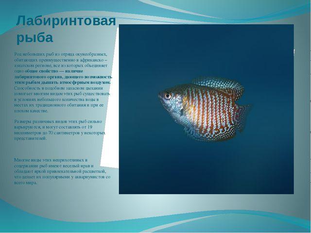 Лабиринтовая рыба Род небольших рыб из отряда окунеобразных, обитающих преиму...
