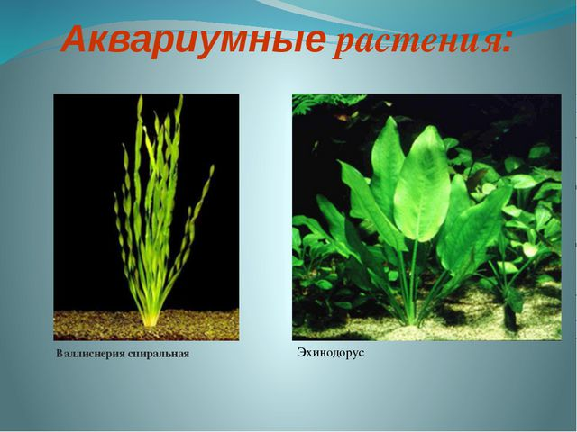 Аквариумные растения: Валлиснерия спиральная Эхинодорус