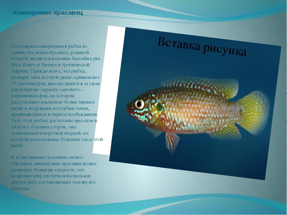 Хемихромис красавец Популярная аквариумная рыбка из семейства окунеобразных,...