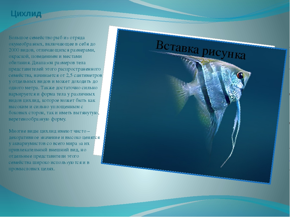 Цихлид Большое семейство рыб из отряда окунеобразных, включающее в себя до 20...