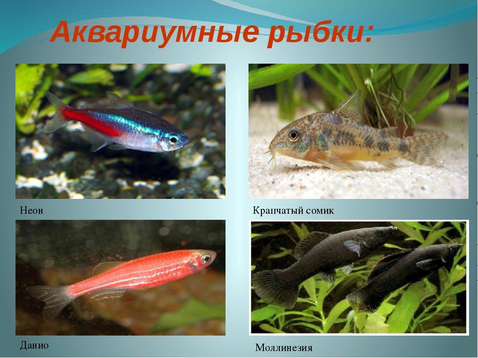 Аквариумные рыбки: Неон Данио Моллинезия Крапчатый сомик