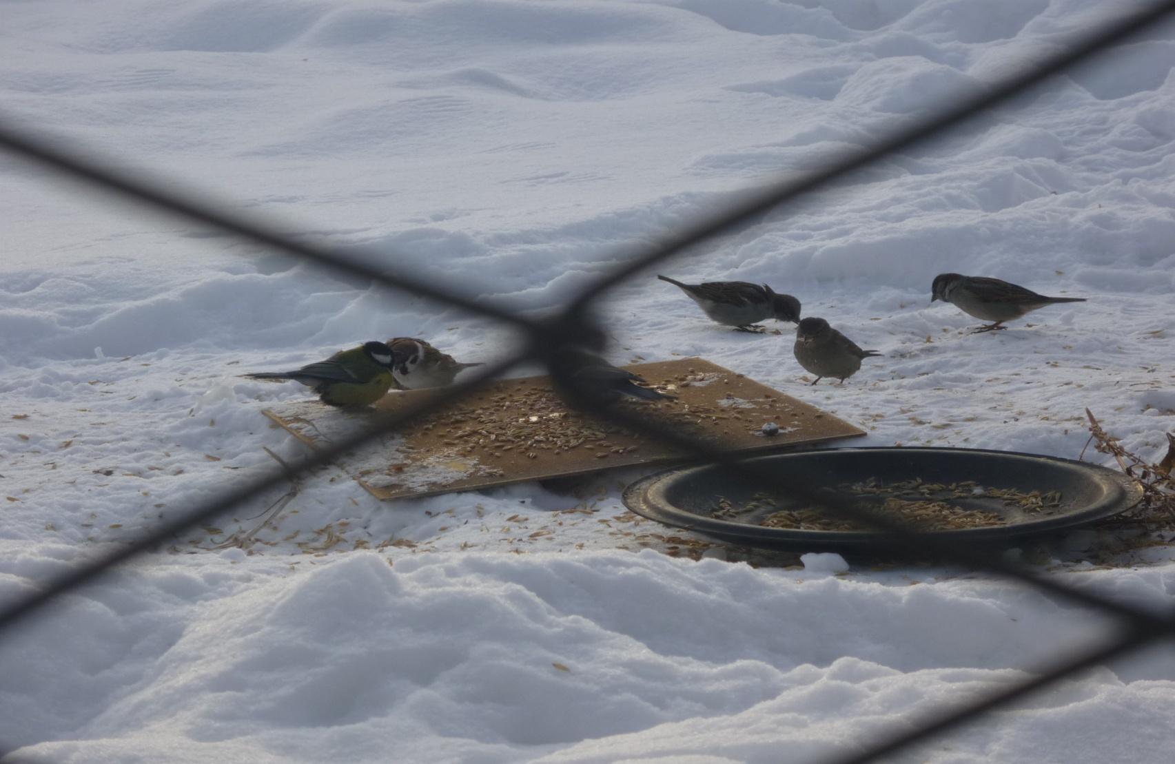 C:\Users\Владимировка1\Desktop\готовые фото птицы на кормушке\готовые фото, птицы на кормушке\P1040766.JPG