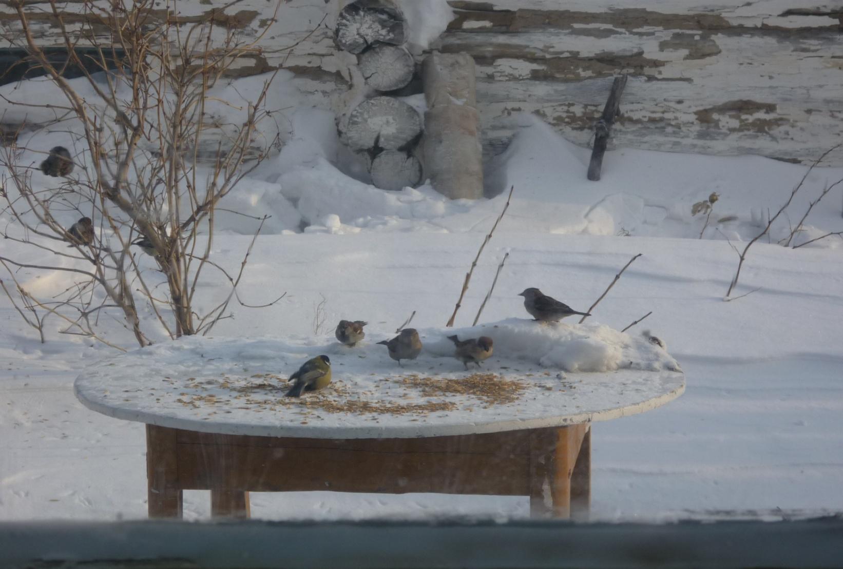 C:\Users\Владимировка1\Desktop\готовые фото птицы на кормушке\готовые фото, птицы на кормушке\P1040978.JPG